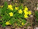 potentilla_collina