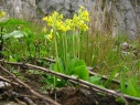 primula_officinalis
