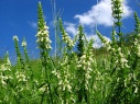 stachys_recta
